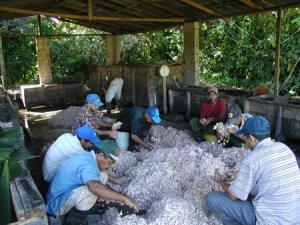Cocoa Harvest